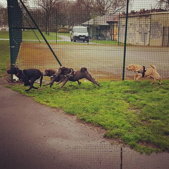 The Chase: #larrybstanding met 3 squishy dogs in the park today (2 grey, 1 beige). They weren't growly, but I think he was a bit stressed because there were 3 of them.