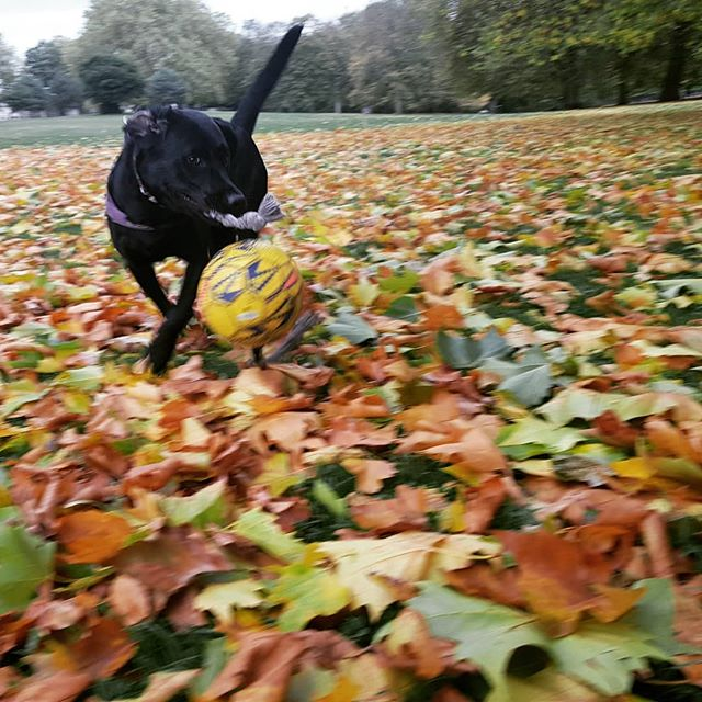 Lord #LarryBStanding mucking about in his leafy kingdom. #woof #workethic #needshoovering