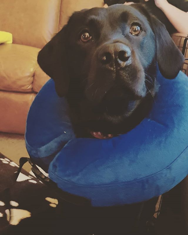 So, #larrybstanding got the snip yesterday. Didn't share a picture of him with The Cone, cos it was a bit too sad. It's been replaced now with this far superior option – kinda makes him look like a soft-play William Shakespeare. #forsooth #barkingbard #isthisanadgeriseebeforeme